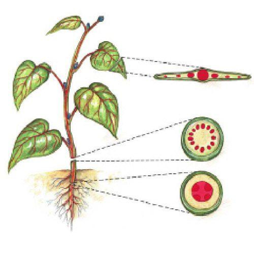 آناتومي آوندها و بافتهاي گياهي