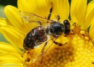 طرح توجیهی پرورش زنبور عسل