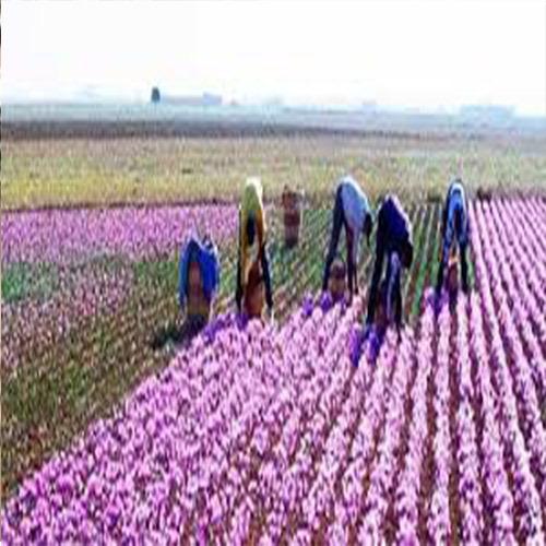 فناوری تولید زعفران
