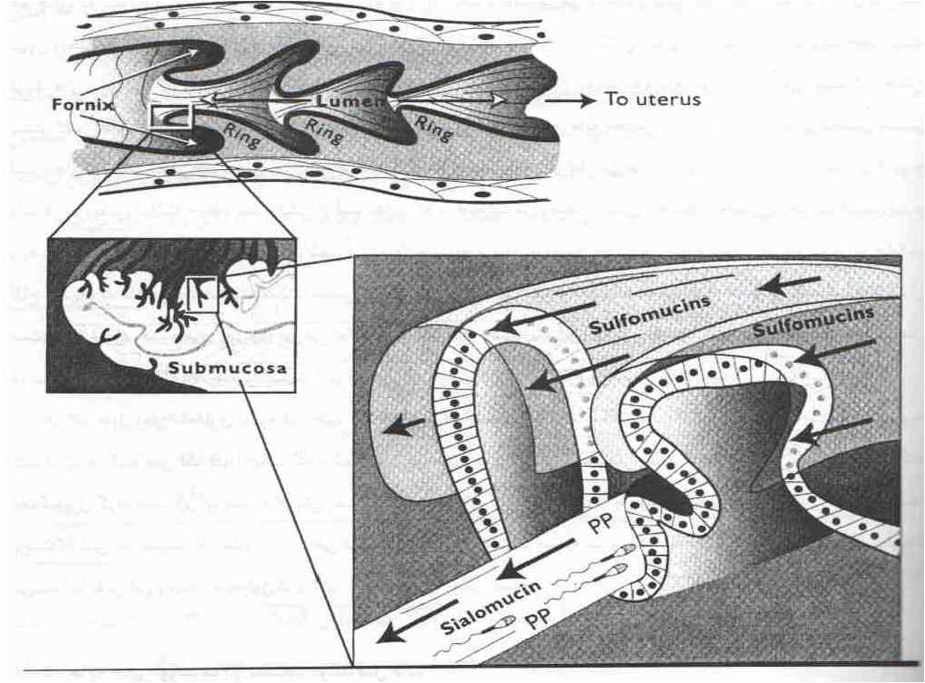 جابجایی اسپرم ها در دستگاه تولید مثل ماده چگونه انجام می شود