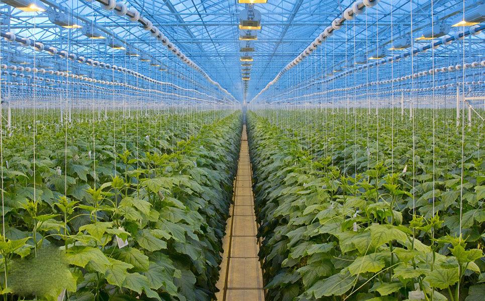 مشخصات بذر خیار گلخانه ای[۱]: