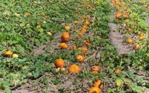 کشت کدو كدو تخم كاغذی گیاهی پرسود جهت کشت و پرورش