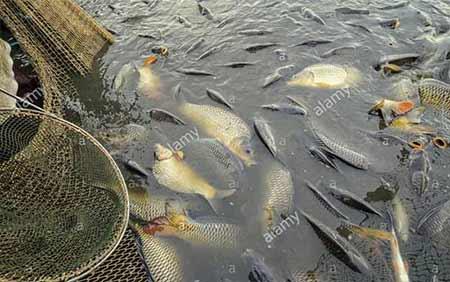 پرورش ماهی کپور در استخر