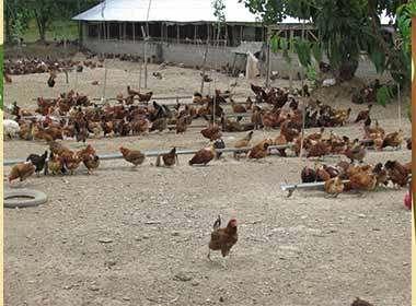 پرورش مرغ محلی با در آمد عالی کسب درآمد با سرمایه کم