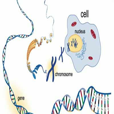 ژن ها ، كروموزم ها و دي ان اي (DNA)