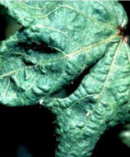 تحقیق بیماری های ویروسی گیاهان جالیزی