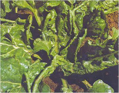 بیماری های ویروسی گیاهان جالیزی