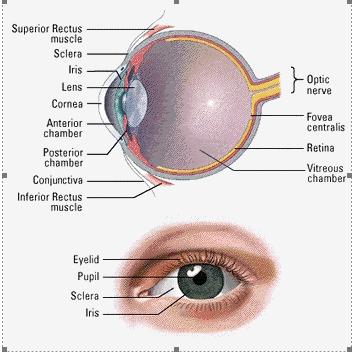 تحقیق در مورد ساختمان چشم