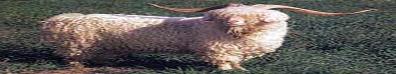 نژادهای بز: آنگورا