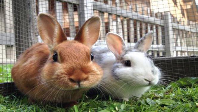 پرورش خرگوش گوشتی