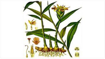 تحقیق در مورد گیاه داروئی زنجبیل